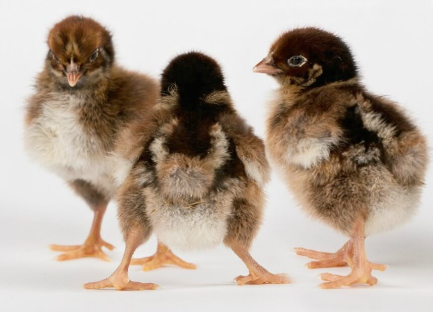 Barnevelder_Chicks.jpg