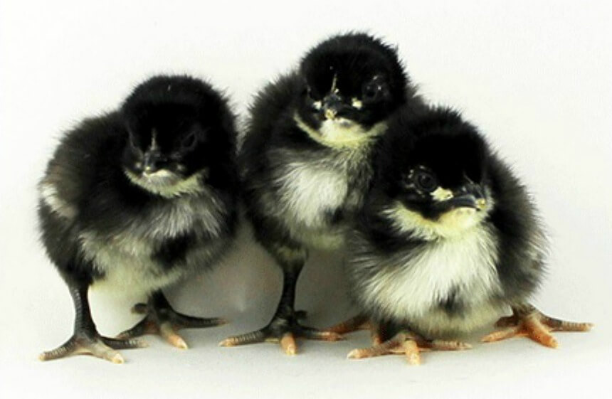 Black_Oprington_Chicks_1.jpg