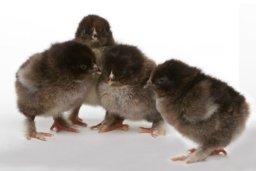 Partridge_Cochin_Chicks.jpg