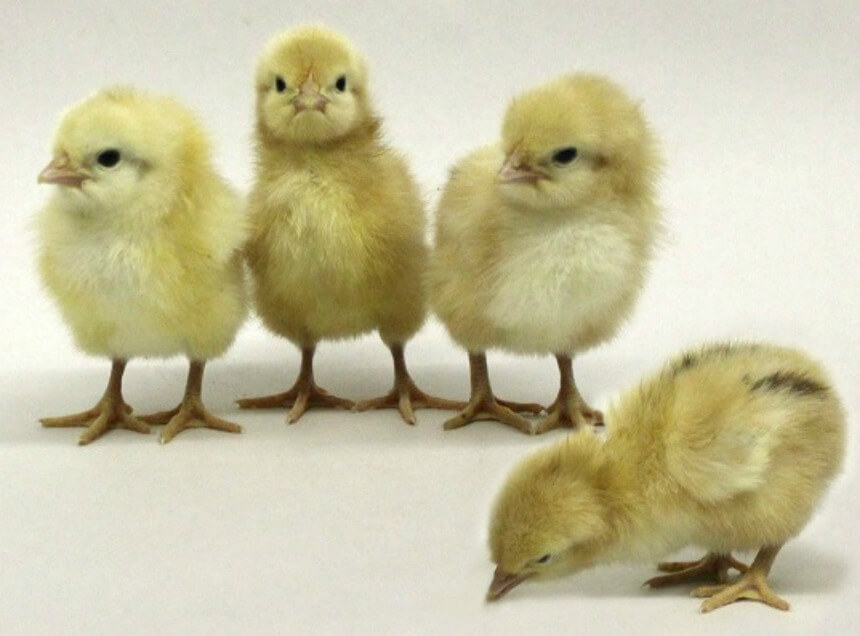 Jubilee_Orpington_Chicks.jpg