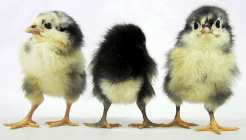 Black_Australorp_Chicks_1.jpg
